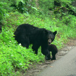 Utah Division of Wildlife Resources working to control bear population