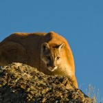 Cougar hiding under cabin was a 'fighter,' DWR says